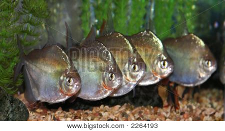 Group Of Silver Dollar Fish.