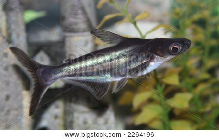 Pangasius Catfish.