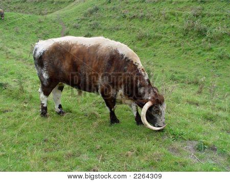 English Longhorn Bull I