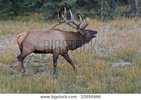 Bugling Bull Elk, Cervus Canadensis