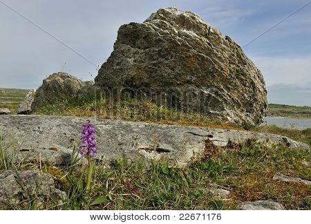 Early Purple Orchid & boulder