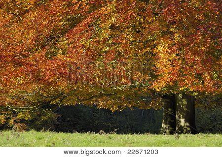 Autumn Beech Tree