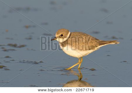 Little Ringed Plover on the shore looking for food / Charadrius dubius