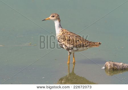 A ruff searching for food in the shallow water of a lake