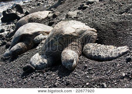 Green Sea Turtles On Black Sand Beach