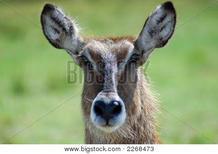 Female Antelope Headshot