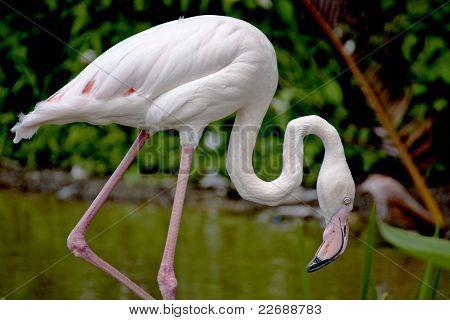 Flamingo A Bird