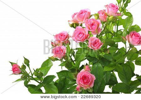 Bush With Pink Roses And Green Leafes