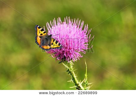 Monarch Butterfly, Danaus Plexippus, Feeding On A Milk Thistle Flower, Silybum Marianum