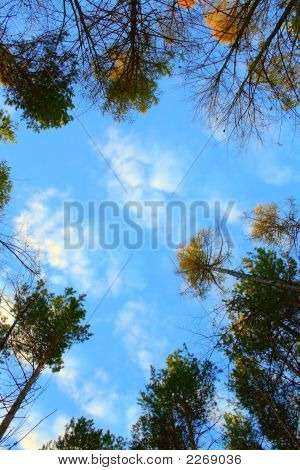 Trees Over A Sky