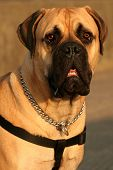 image of bull-mastiff  - a portrait of the upper body and face of a bull mastiff - JPG