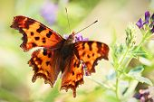 Closeup Of The Fuzzy Hairs On A Green Comma Butterfly. poster