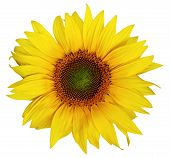 Single Beautiful Sunflower Without Leaves Isolated On A White Background. Nice Flower For Packing Of poster