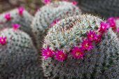 Gorgeous View Of A Cropping Haloed Blooming Mammillaria Haageana Cactus With Bright Pink Flowers. poster