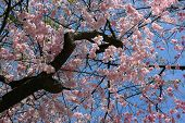 Blooming Sakura Or Cherry. Blooming Tree On A Sunny Spring Day. poster