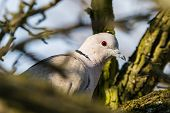 Dove Sitting On Tree Branch poster