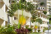 Accent On A Palm Tree Fronds. Ravenala, Ravenala Madagascariensis. Green And Fresh Palm On The Backg poster