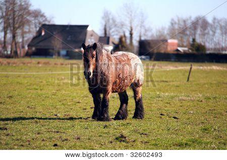 Old Frisian Horse Outdoors