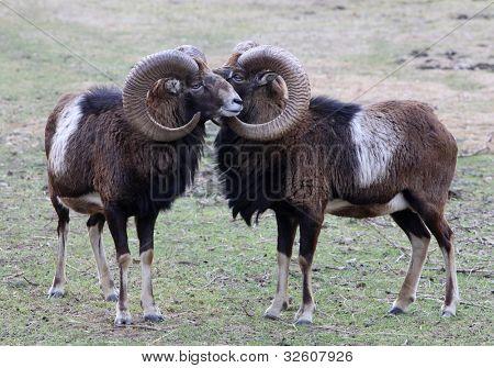 Mouflon portrait, wild goat