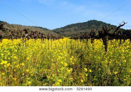 Mustard Between The Vines