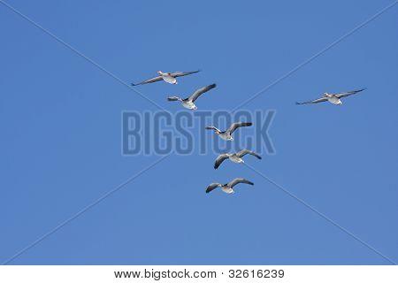 Anser anser, Greylag Goose in the air.