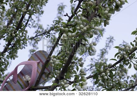 Pink Shoe Stuck In Blossom Tree