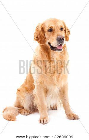 Golden Retriever Dog Sitting On Isolated  White
