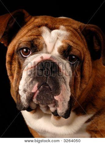 Bulldog Headshot
