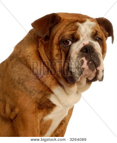 Bulldog On White Background