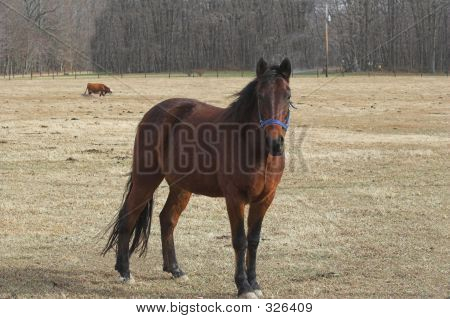 A Horse In Pasture