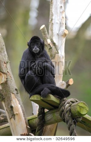 Spider monkey contemplating his day