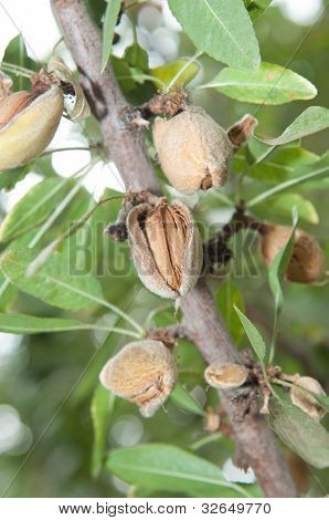Almond In Its Tree