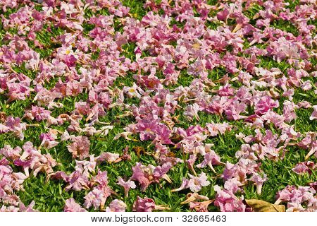 Pink flowers fall on the ground grass
