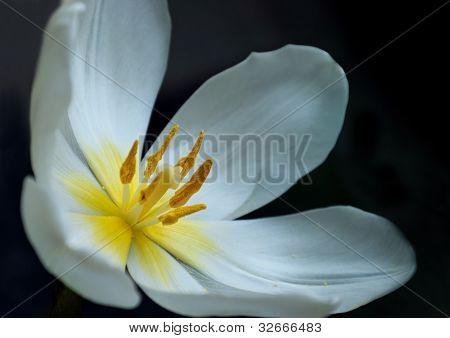 Overblown White Tulip
