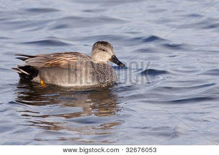 Gadwall (Anas strepera) in a pond