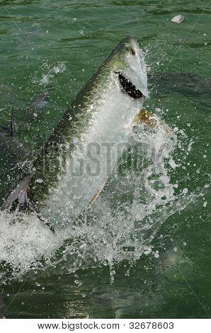 Tarpon fish jumping out of water