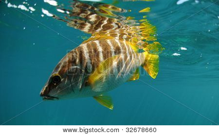 Master snapper fish swimming in ocean