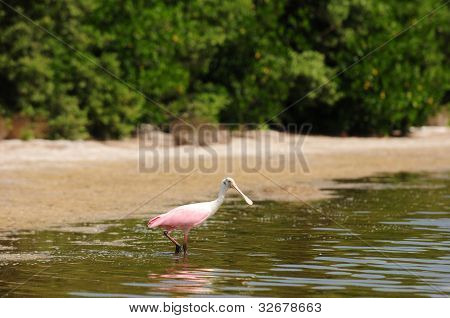Roseate spoonbill in water near beach