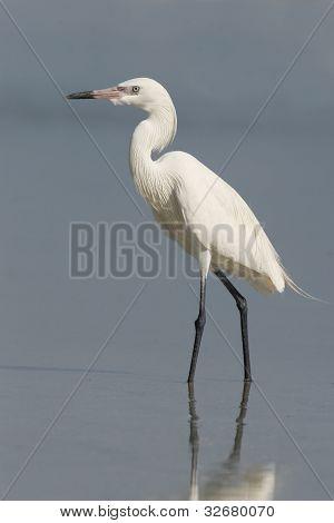 Reddish Egret White Morph #2 - Egretta rufescens