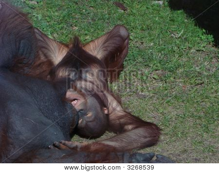 Orangutan Pongo Pygmaeus The Cub Plays With The Father