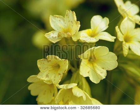 Primel-Blumen