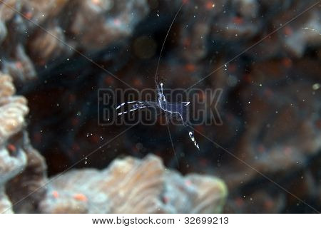 Long-arm cleaner shrimp (periclemenes longicarpus) in the Red Sea.