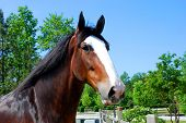 picture of clydesdale  - Clydesdale curious about what is happening beyond fence - JPG