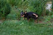 A Black And Tan Purebred Chihuahua Dog Puppy Standing In Grass Outdoors And Staring Focus On Dogs F poster