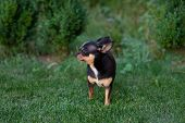 A Black And Tan Purebred Chihuahua Dog Puppy Standing In Grass Outdoors And Staring Focus On Dogs Fa poster