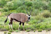 Common Antelope Gemsbok, Oryx Gazella In Kalahari After Rain Season With Green Grass. Kgalagadi Tran poster