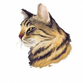 American Wirehair Cat Isolated On White Background. Digital Art Illustration Of Hand Drawn Kitty For poster