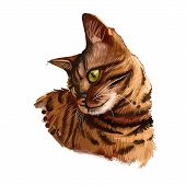 Bengal Cat Isolated On White Background. Digital Art Illustration Of Hand Drawn Kitty For Web. Dange poster
