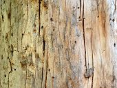 Wooden Background. Close Up Of Tree Wood Showing Patterns Made By Bark Beetles And Bugs. Damage Done poster