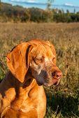 Hound. Gun Dog. Hungarian Pointer Vizsla. Dog Head. Portrait Of A Dog. poster